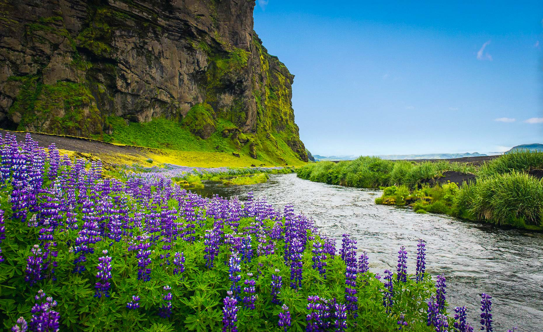 lupine_Iceland_new